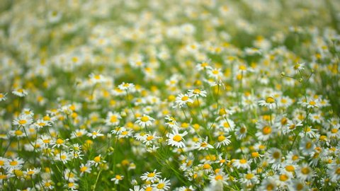 chamomile field. Chamomile field plant wind close up. Beautiful nature scene with blooming medical chamomilles. Sunny day. Summer Herbal flowers. Camomille flower background. Flowers blossoming 4 K