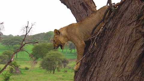 young male lion descending from a tree in the Tarangire National Park, Tanzania, Africa. Panthera Leo species.