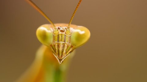 Praying Mantis or Mantis Religiosa. Extreme Insects Wildlife Macro Close Up 4K. Bali, Indonesia.