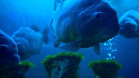 Scary piranha in aquarium