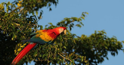 Red parrot Scarlet Macaw, Ara macao, bird sitting on the branch, Panama. Wildlife scene from tropical forest. Beautiful parrot on green tree in nature habitat.