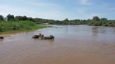 Capybara Family in Cuiaba River, Pantanal, Brazil