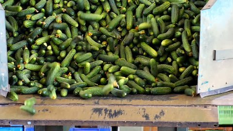 Unloading of  Fresh Cucumbers /Slow motion video footage