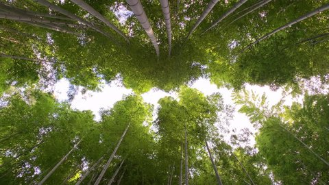 Vertical view of Arashiyama Bamboo Grove waving in the wind, Kyoto