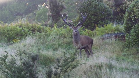 a red stag roaring in high speed