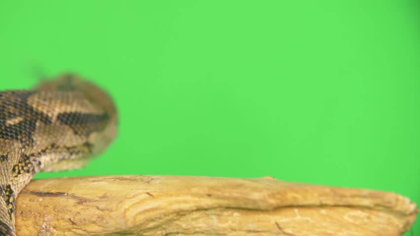 Free Green Screen Snake Stock Video Footage - (2,637 Free