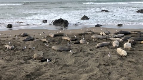 4k hd video of many elephant seals hauled out on a beach  elephant seals  breed annually and are seemingly faithful to colonies that have established  breeding areas
