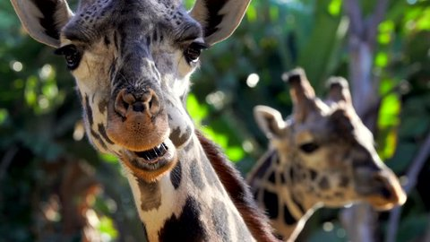 This close up video shows majestic wild masai giraffes chewing and eating greenery as they are looking directly at the camera.