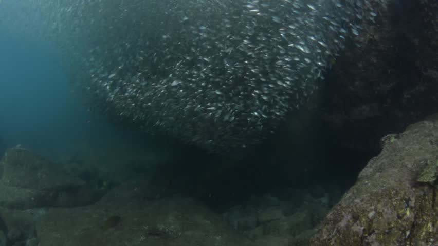 Flatiron Herring baitball from the islands of the sea of Cortez, Mexico. | Shutterstock HD Video #1022634724