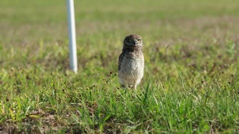 Static close up of a young wild Burrowing Owl of Cape Coral, Florida, in its natural habitat of empty lots in a neighborhood. Owl does head bob and weave and walks. Space for copy text