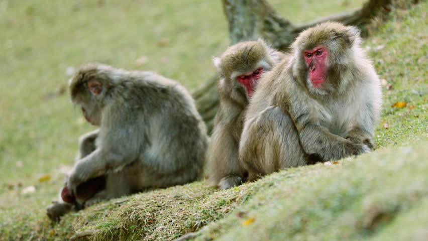 Japanese Macaque shot near Kyoto Japan. | Shutterstock HD Video #1022666104