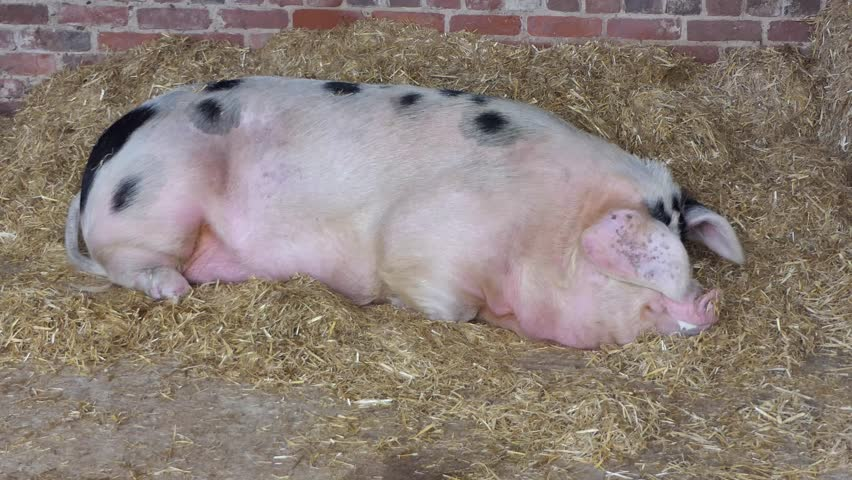 Spotted pig in a shed, East Yorkshire, England | Shutterstock HD Video #1022667784