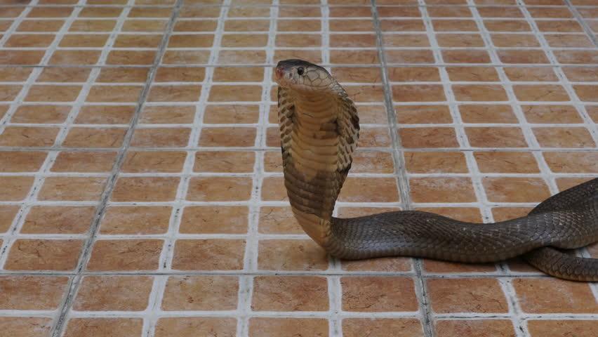 Cobra snake on the floor  | Shutterstock HD Video #1022689954