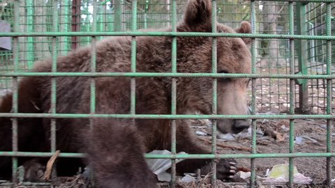 Poor brown bear living in steel cage and behind the bars at the zoo. Sad bear behind fence in prison. Animals in captivity. Concept of wildlife, freedom, animal rights, sadness and cruelty.