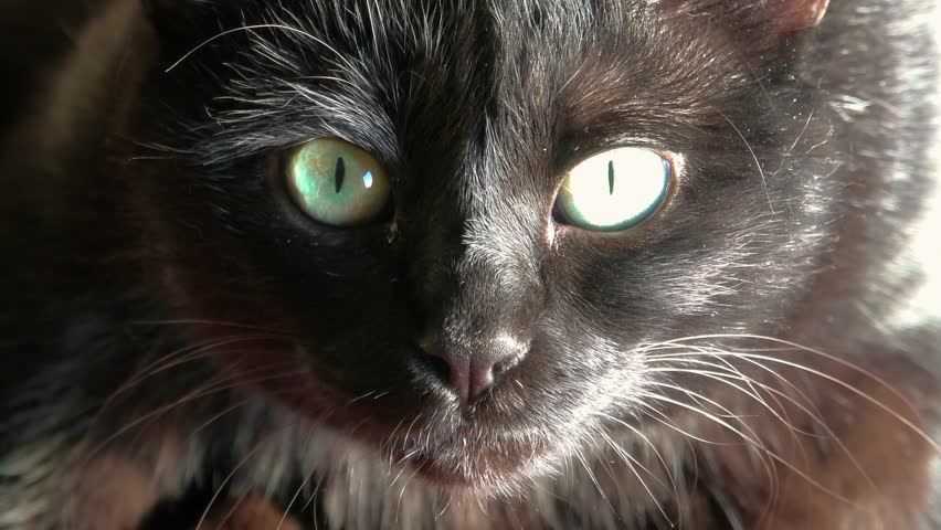Close up of a common, european black cat with green eyes open. Horror atmospheres and halloween concept. Look panther and witch eyes. Bad luck and superstition. | Shutterstock HD Video #1022836474