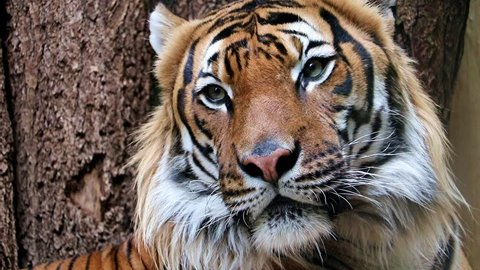 Portrait of the Tiger malayan, tigris panthera jacksoni