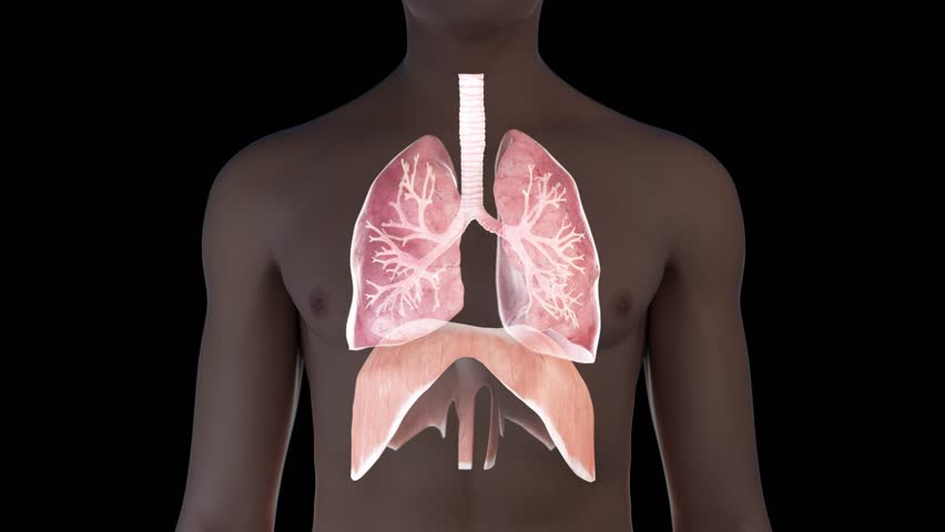 3d animation of a breathing man - visible lung and diaphragm   Shutterstock HD Video #1022858014