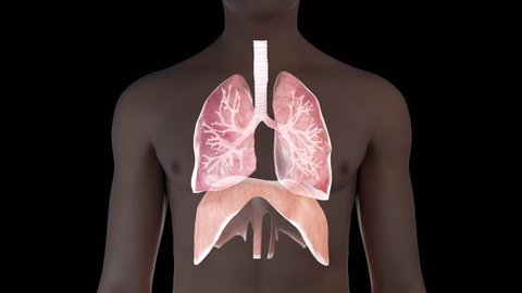 3d animation of a breathing man - visible lung and diaphragm