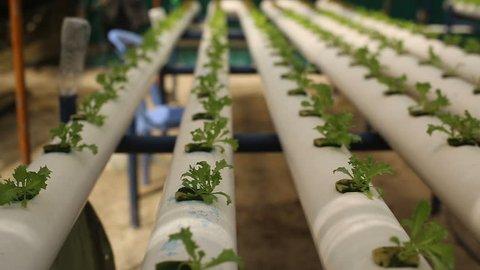 Hydroponic vegetables growing inside a greenhouse. Fresh organic lettuce seedlings, Urban farming