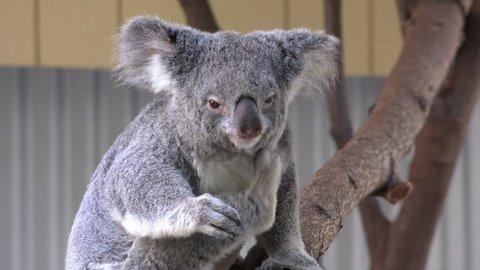 Mid shot of Australian Koala Bear scratching itself under its chin.
