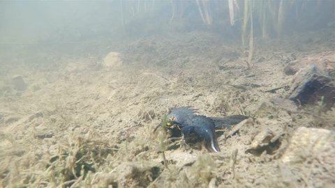 Underwater footage of northern crested newt (Triturus cristatus) have a love. Spawning warty newt in beautiful clear pond. Wetlend habitat. Underwater video.