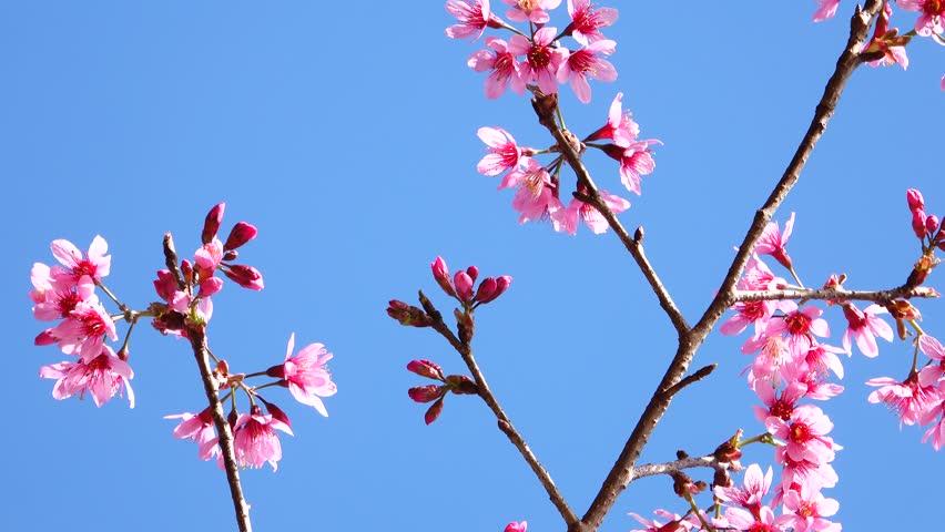 Pink color dalat sakura flower blossom   Shutterstock HD Video #1023332104