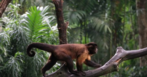 Amazon forest endangered animals. Tufted Capuchin ape monkey on tree branch in evergreen rainforest of Brazil