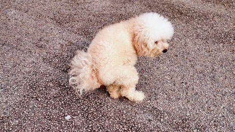 Poodle pet dog pooping feces on the road