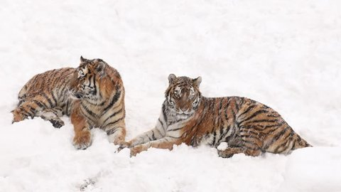 Siberian tiger couple lying in snow at blizzard. Tigress communicates with her young amur tiger by roar, growling and groans. Frozen scene from wild winter nature of Taiga. Panthera tigris altaica