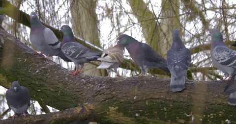 Pigeons on a branch in winter
