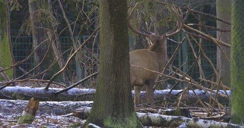 Male deer standing between branches in snow