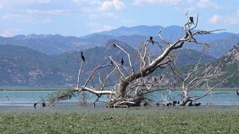 Cormorant birds on the famous Lake Skadar in Montenegro, 4k