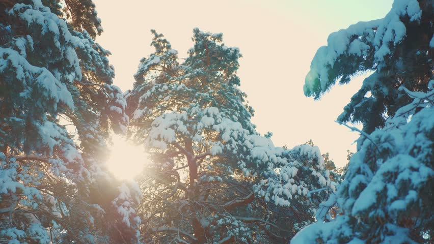 Tree tops winter pine snow branch sunlight glare winter landscape during sunset. Tree tops on a cloudy winter day. winter pine the sun forest in the snow sunlight movement. frozen lifestyle frost | Shutterstock HD Video #1023663814