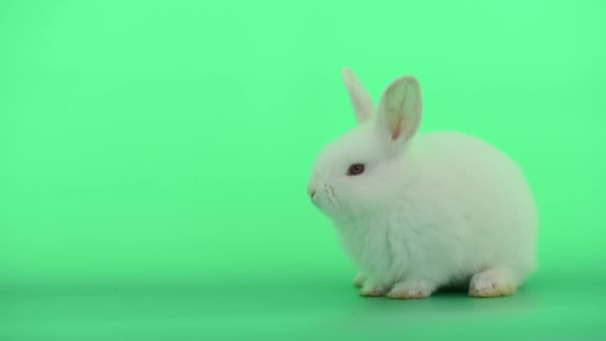 Little white bunny rabbit stay calm and look sleepy on green screen background #1023682504