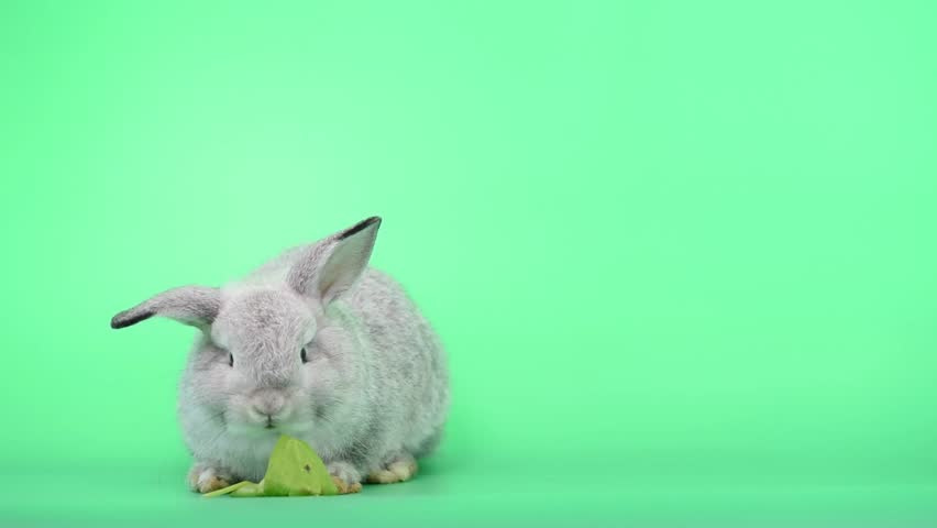 Adorable bunny rabbit is eating green celery on green screen background