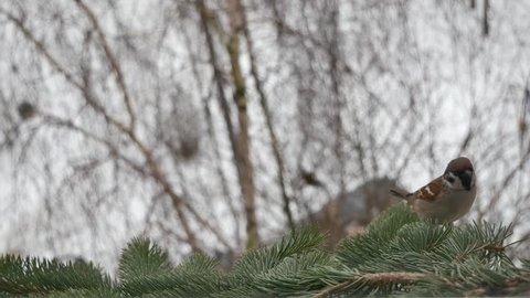 Sparrow on a fir-tree branch.