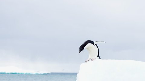 Adelie Penguin Jumping from an Iceberg in Antarctica - Leap of Faith