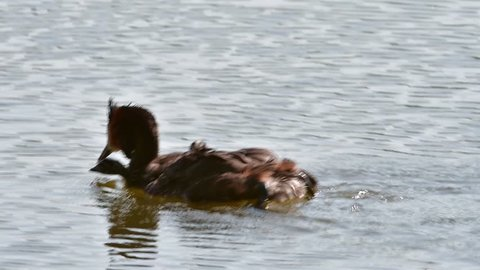 Great crested grebe (Podiceps cristatus) pair swimming in pond while carrying chicks on its back
