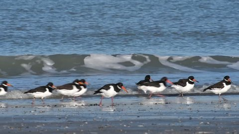 Pied oystercatchers (Haematopus ostralegus) and sanderlings (Calidris alba) foraging on beach in winter