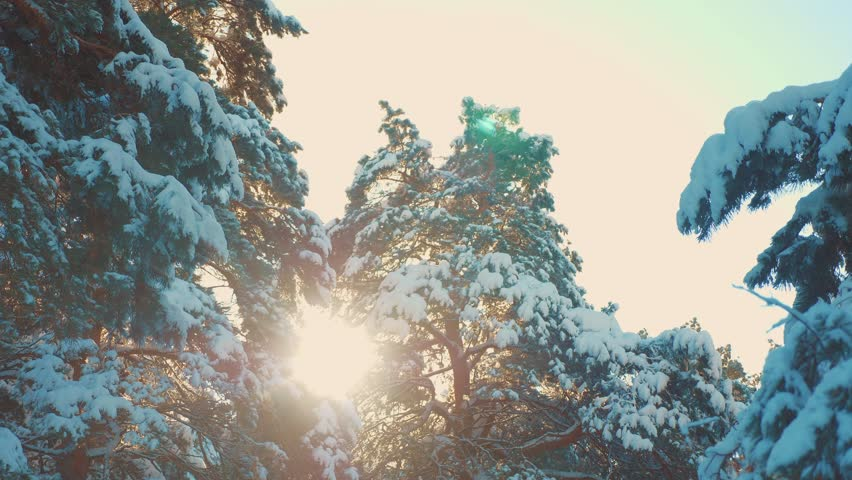 Tree tops winter pine snow branch sunlight glare winter landscape during sunset. Tree tops on a cloudy winter day. winter pine the sun forest in the snow sunlight movement lifestyle. frozen frost | Shutterstock HD Video #1024048874