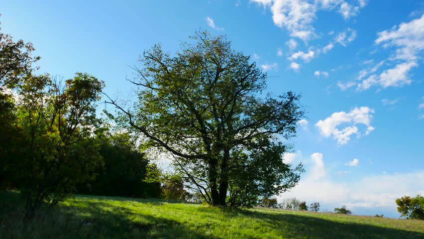 big hornbeam tree isolated in the heavy wind on a large grass field
