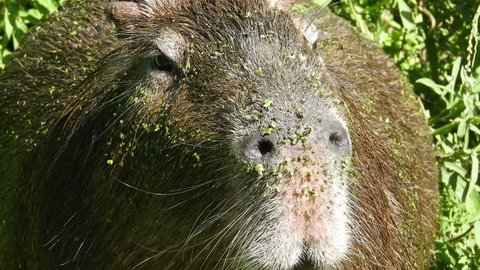 Full frame close up of Capybara covered in algae from swimming in an algae filled lake.
