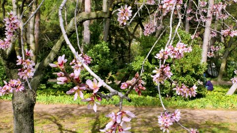 A close up overview video of almond tree blooming flowers at Quinta de los Molinos city park in Madrid, Spain on a sunny spring day. Almond pink flowers are moving with the wind with blooming trees.