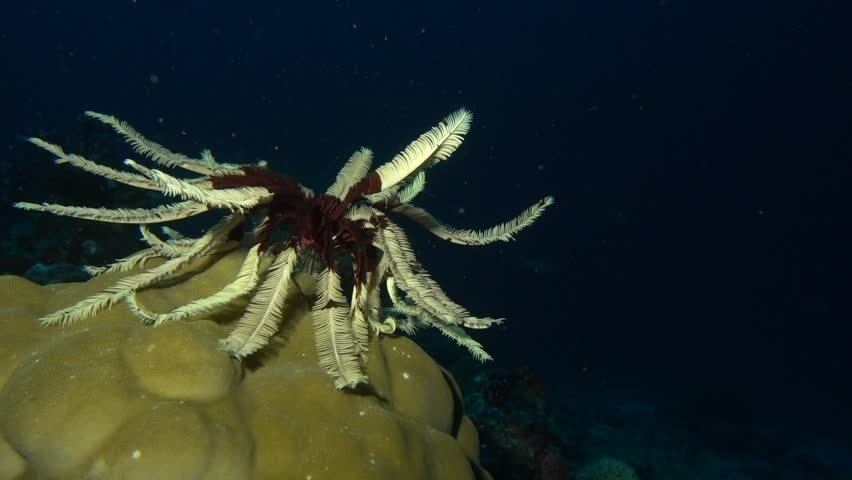 A featherstar resting on a piece of hard coral. | Shutterstock HD Video #1024867964