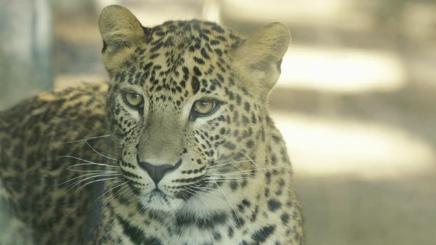 Leopard breeding watching #1024882604