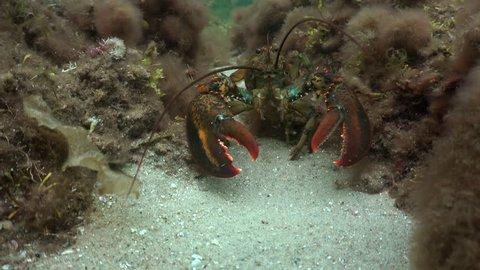 American Lobster on Sea Floor
