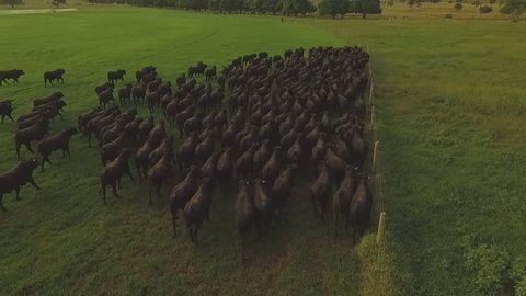 Many angus on the farm, aerial view, green grass, trees on a very beautiful day