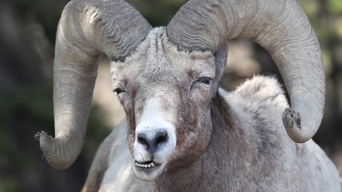 A closeup of a chewing BigHorn Sheep in Green River, Utah.