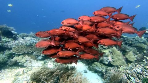 Schooling Pinjalo Snappers in a beautiful coral reef in Raja Ampat, West Papua, Indonesia. Red color contrasting the blue water background.