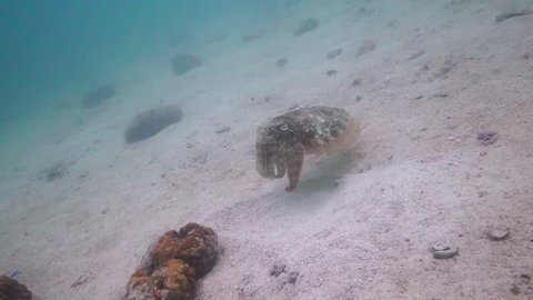 Amazing Cuttlefish shot changing colours quickly